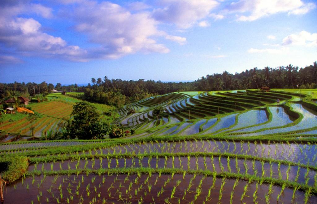 Java - Bali - Rijstvelden